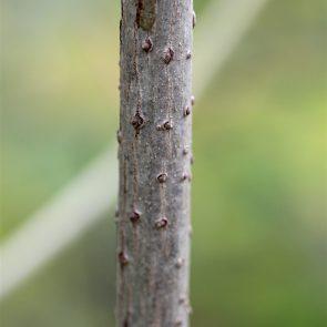 Holunder Stamm