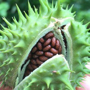 Stechapfel Samen