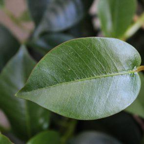 Sundaville Blatt