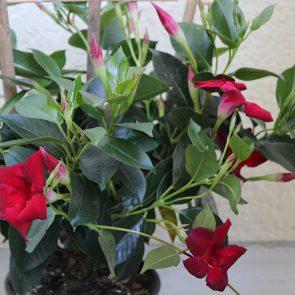 Sundaville Pflanze