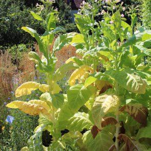 Tabak Pflanze