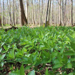 Wald-Bingelkraut