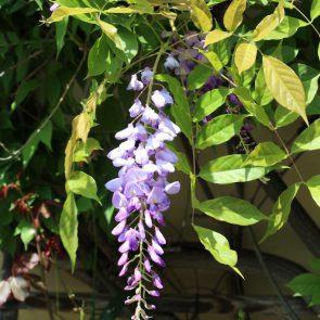 Glyzinie Blüte