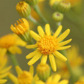 JKK, Blüten