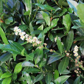 Kirschlorbeer Blüte