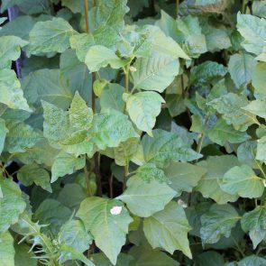 Lampionblume Blätter