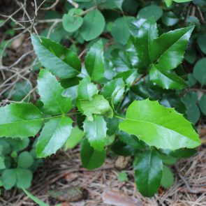 Mahonie Blätter