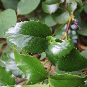 Mahonie Blätter nah