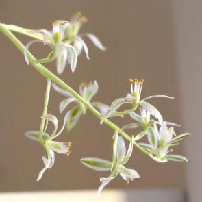 Ornithogalum Blüte