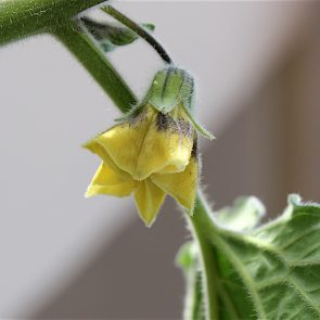 Physalis Blüte