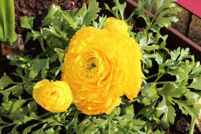 Ranunkel Blüten gelb