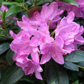 Rhododendron Bluete
