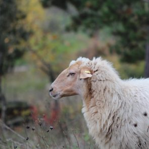 Schaf im NSG Helmental