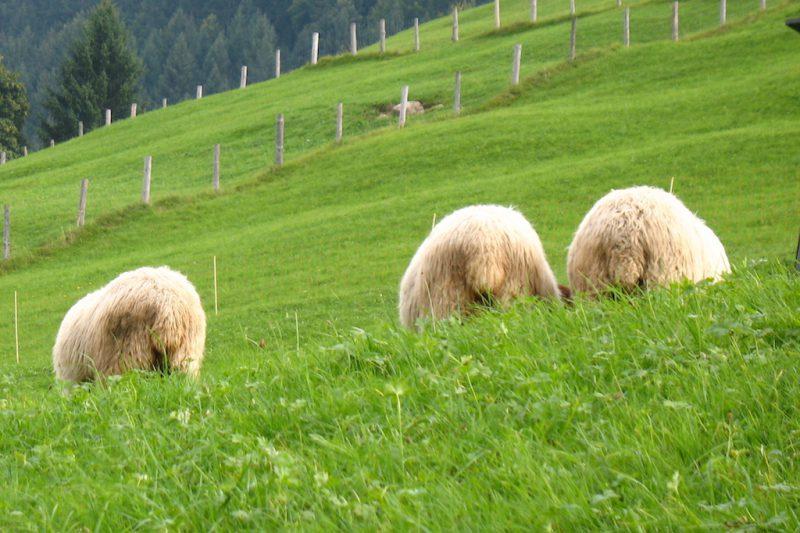 3 Schafe von hinten