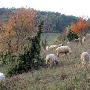 Schafe im NSG Helmental