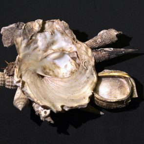 Xenophora pallidula mit Verschlussdeckel