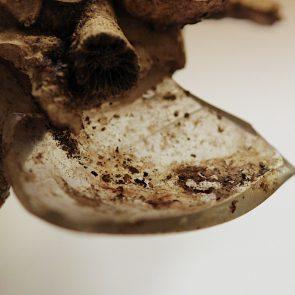 Xenophora pallidula mit Glasscherbe