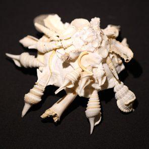 Xenophora pallidula mit Haizahn