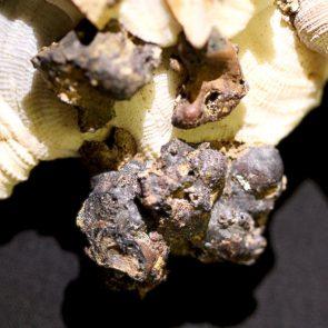 Xenophora pallidula mit Schlacke