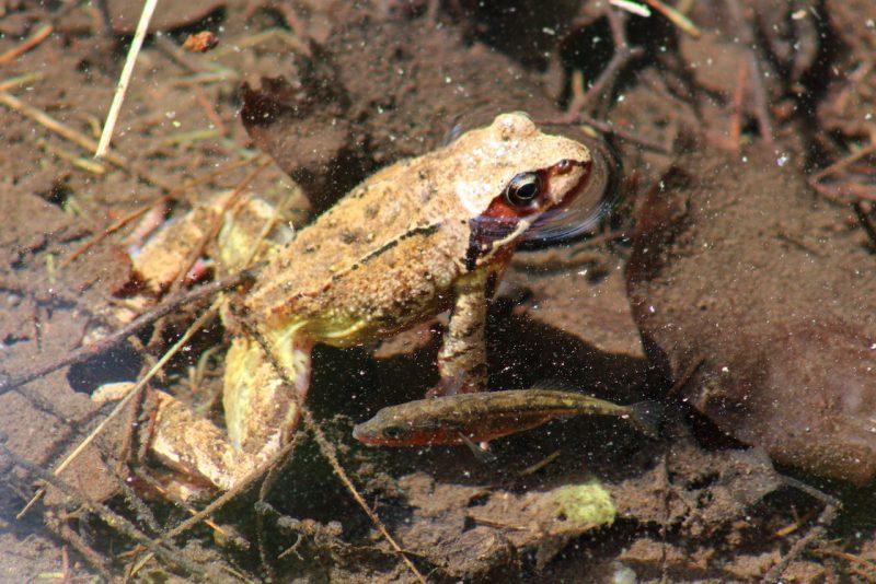 Frosch und Stichling