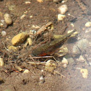 Stichlingmaennchen beim Nestbau