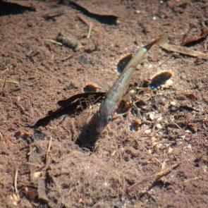 Stichlingsmaennchen mit seinem Nest