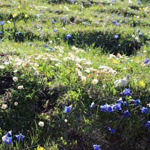 Geigelstein Blumen