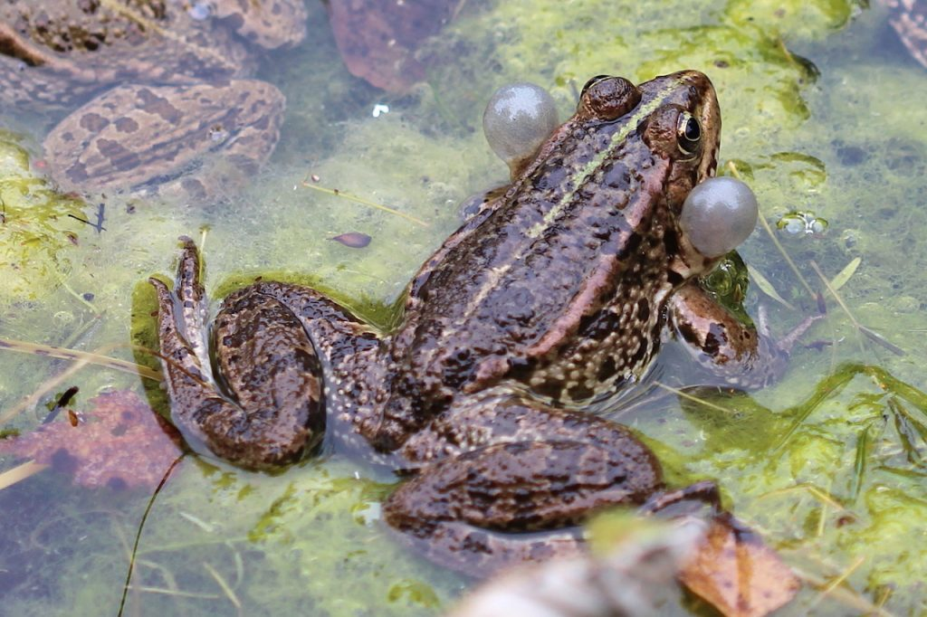 Frosch Schallblase