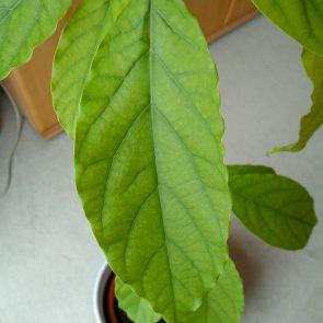 Avocadopflanze