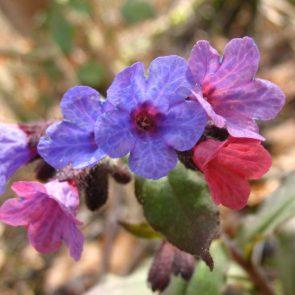 Lungenkraut Blüten in zwei Farben