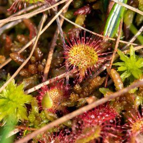 Rundblättriger Sonnentau - Drosera rotundifolia