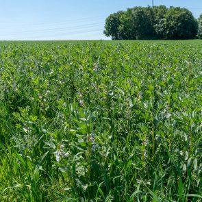 Ackerbohne Feld
