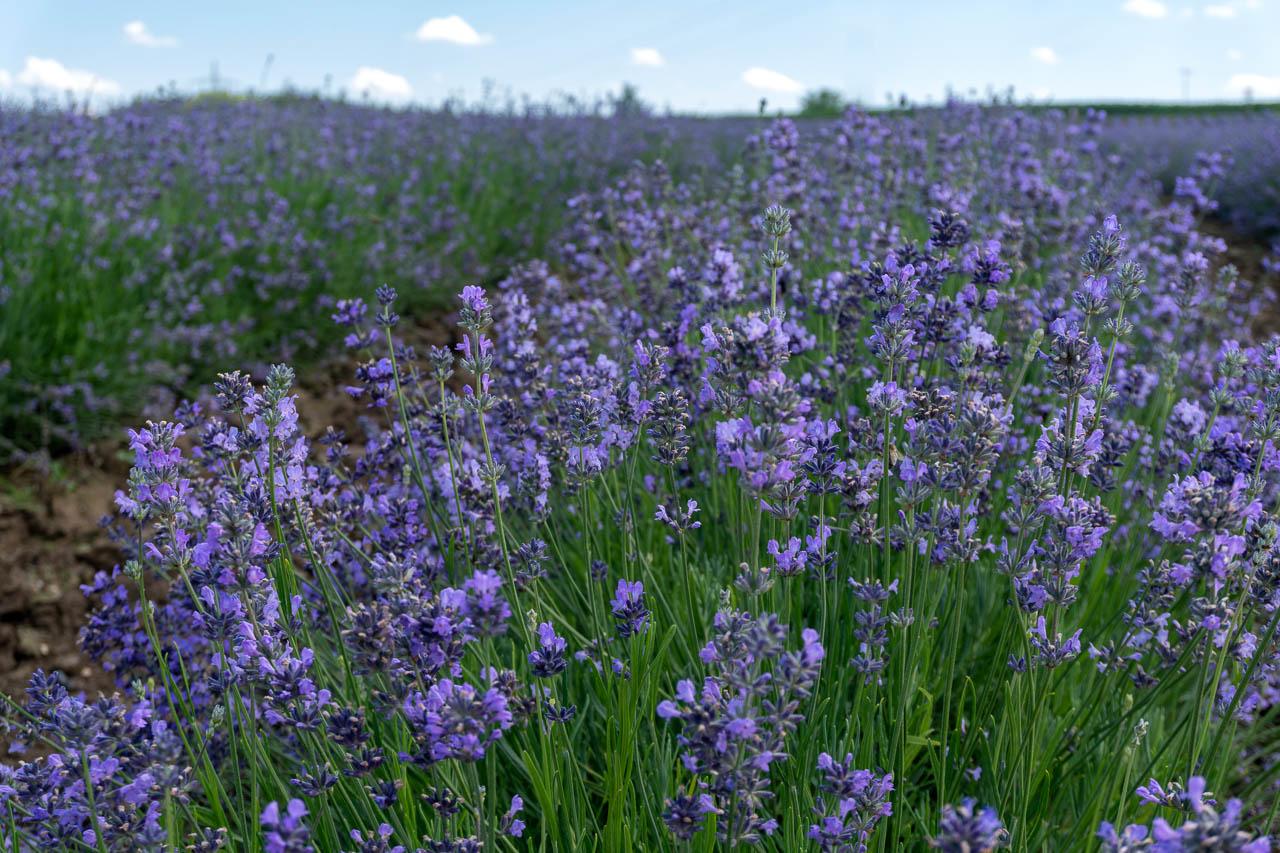 Lavendel Nahaufnahme der Blüten