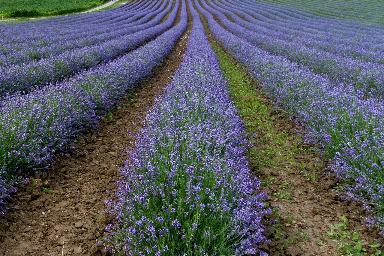 Blick in die Reihen des Lavendelfelds