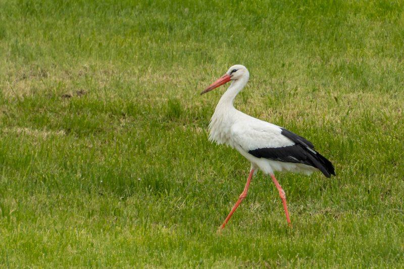 Ein Storch marschiert über die Wiese