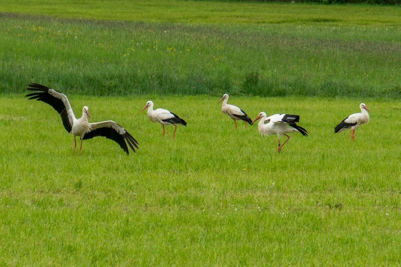Fünf Störche auf einer Wiese, einer davon kurz nach der Landung mit ausgebreiteten Flügeln