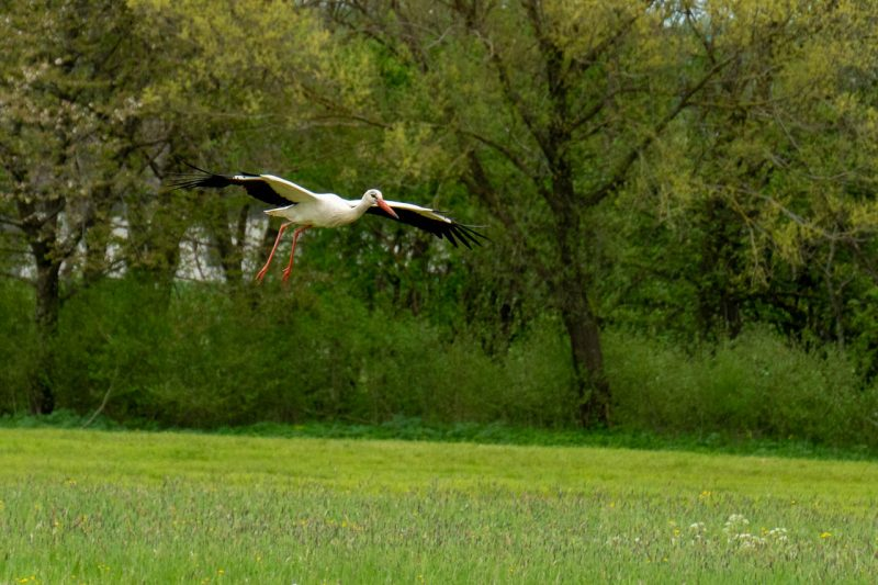Ein Storch im Landeanflug