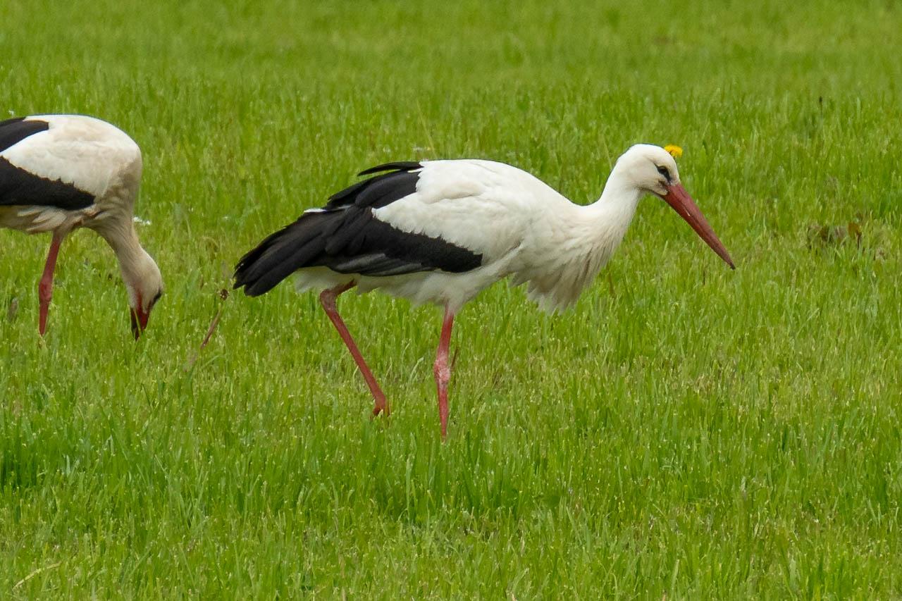 Storch in Nahaufnahme