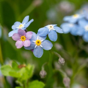Vergissmeinnicht mit rosa und hellblauen Blüten